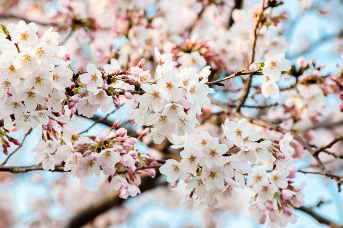 桜-ぱくたそ
